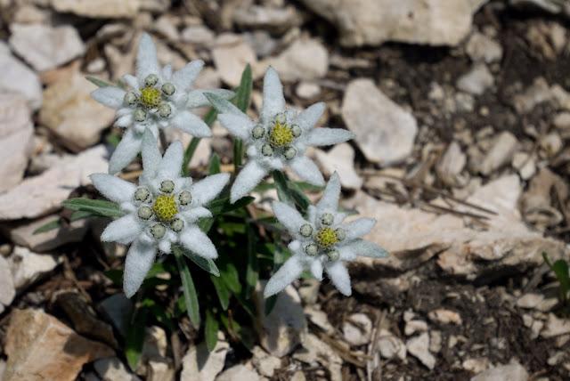 stella alpina edelweiss