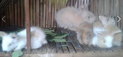 ciri ciri anakan kelinci anggora