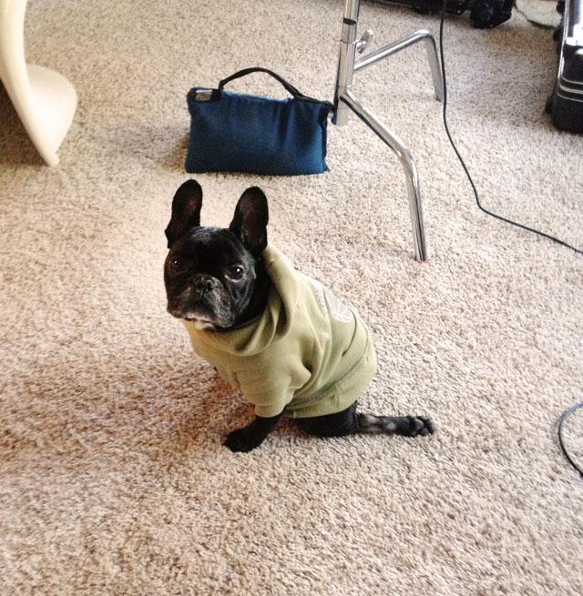 LeRoy, frenchie in a sweatshirt