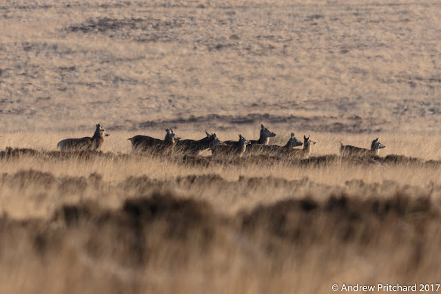 A group of hinds crossing the moorland in the lea of a hillside out of the wind.
