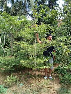 Harga jual pohon ketapang kencana varigata murah
