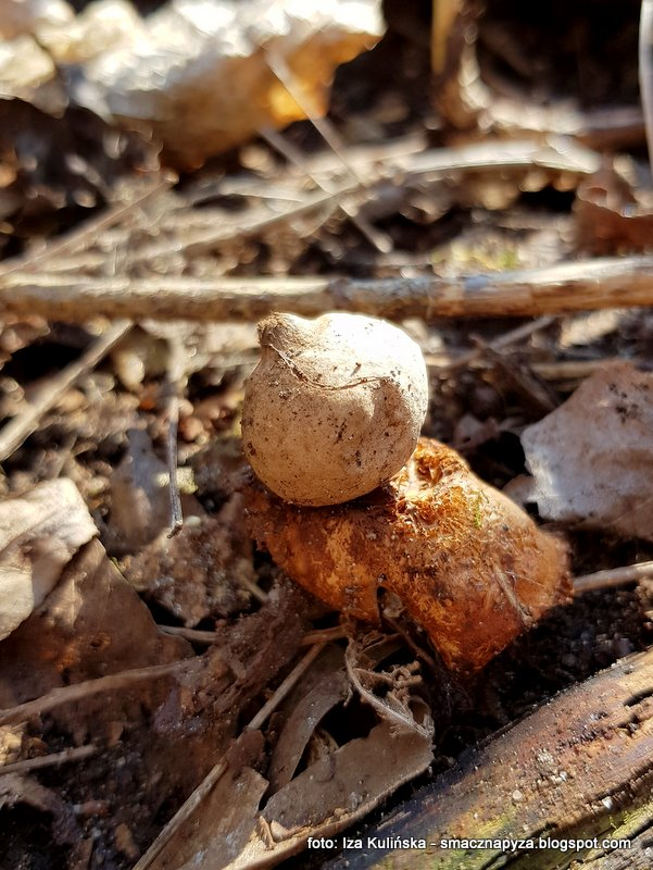 grzyby, grzybobranie, w lesie, las, szukajac wiosny, owocnik