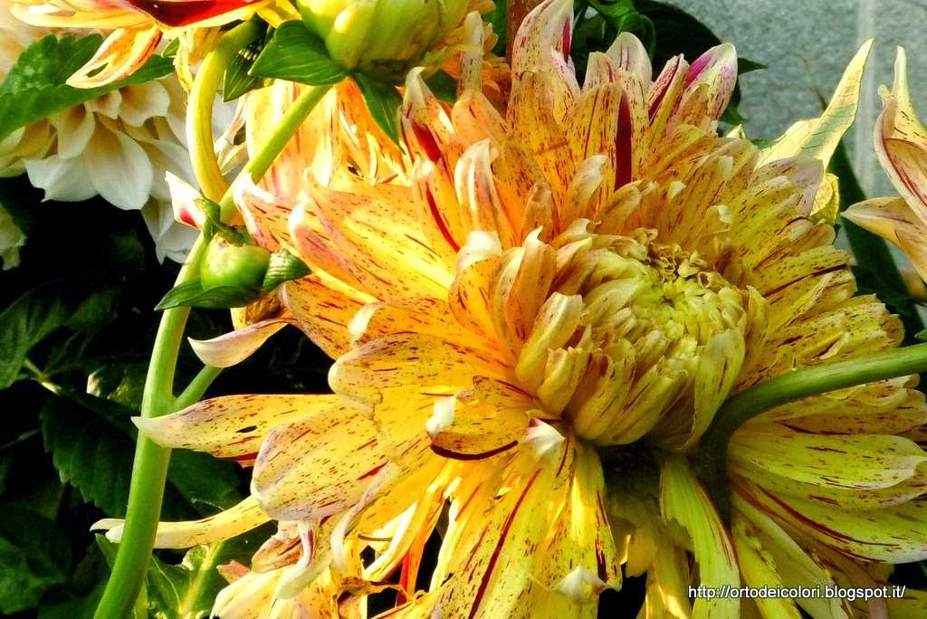 L 39 orto dei colori dahlie 2014 for Dalie giganti