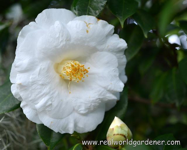 1-1-camellia%2Blovelight.JPG