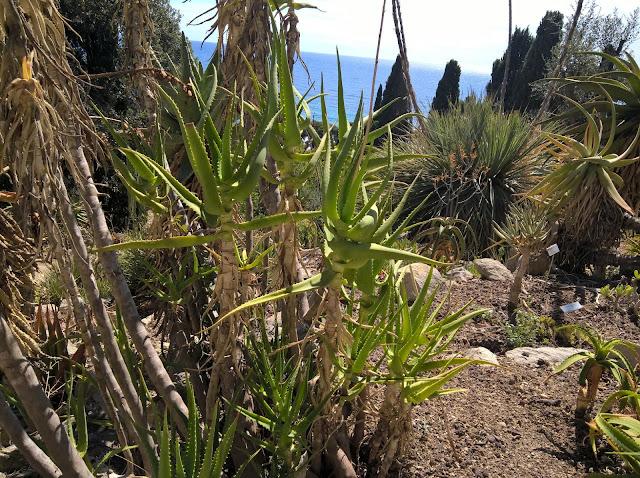 Aloe nyeriensis