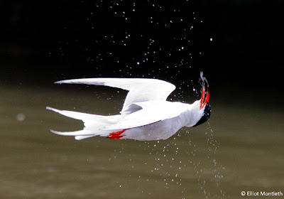 Common Tern by Elliot Montieth