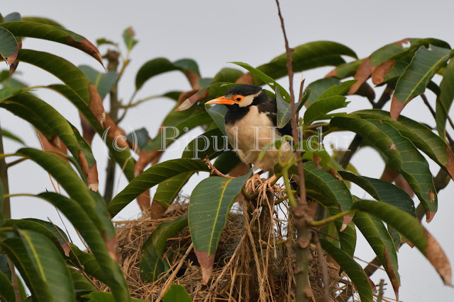 Pied Myna guarding nest