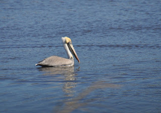 pelican swimming in water