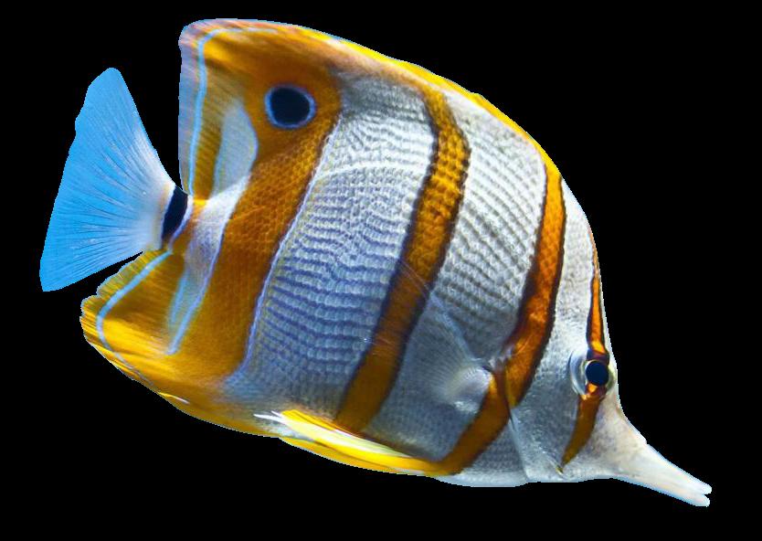 Ikan Koi Png