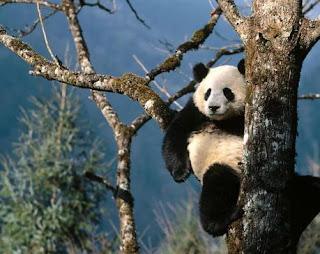 Oso Panda gigante en la rama de un árbol