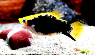 Mengenal Asal usul dan sejarah ikan hias platy