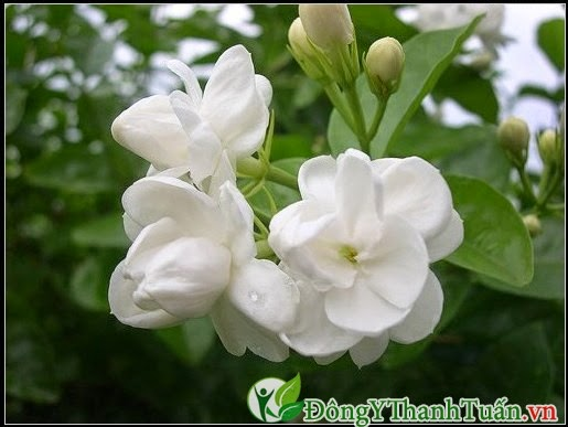 Bài thuốc chữa mất ngủ từ hoa nhài