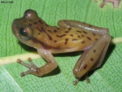 Phyllodytes amadoi, nova espécie de perereca, jorge amado, escritor baiano, perereca, sapo, nova espécie, bahia, mata atlântica, mini sapos, mini pererecas, natureza, pesquisa, ciência