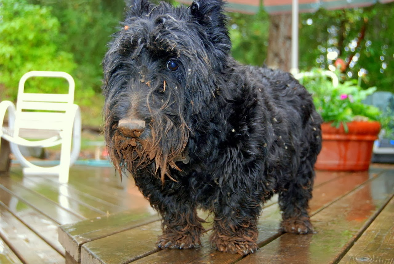 Cute dogs - part 9 (50 pics), dog gets dirty after playing in the mud