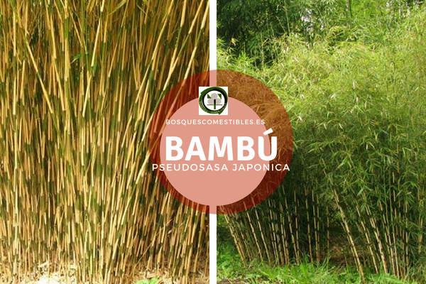 El Bambú, es una planta perenne de 2 a 6 m de altura del género Pseudosasa.