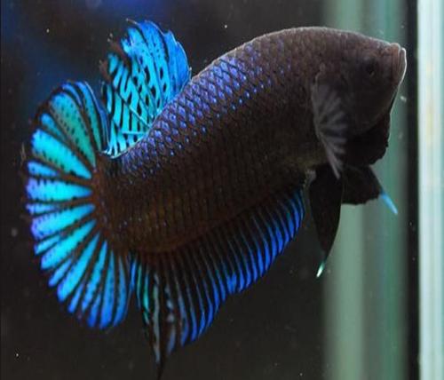 Download 5500 Koleksi Gambar Ikan Cupang Di Buku Gambar Terpopuler
