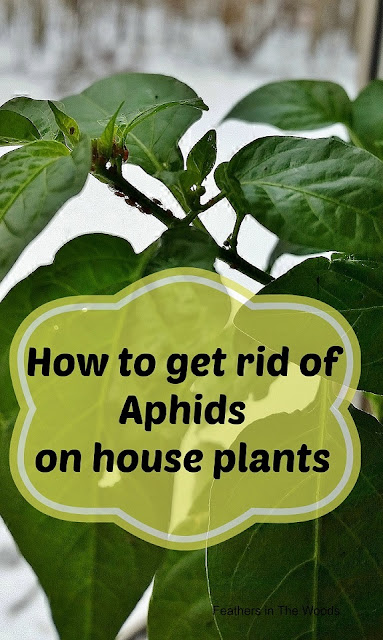 Getting rid of aphids on houseplants