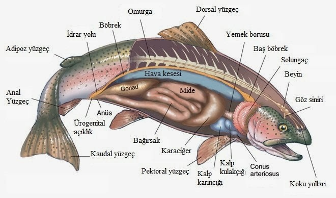 Balıkların tat alma organı işitme ve yan organı