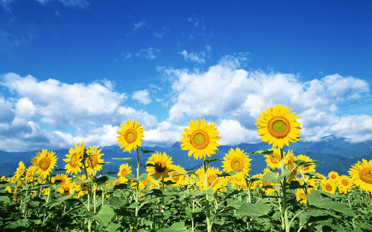 Desktop My Wallpaper Sunflowers