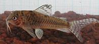 Jenis Ikan Corydoras negro