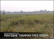 Penyebab terjadinya rebah atau ayeuh pada tanaman padi