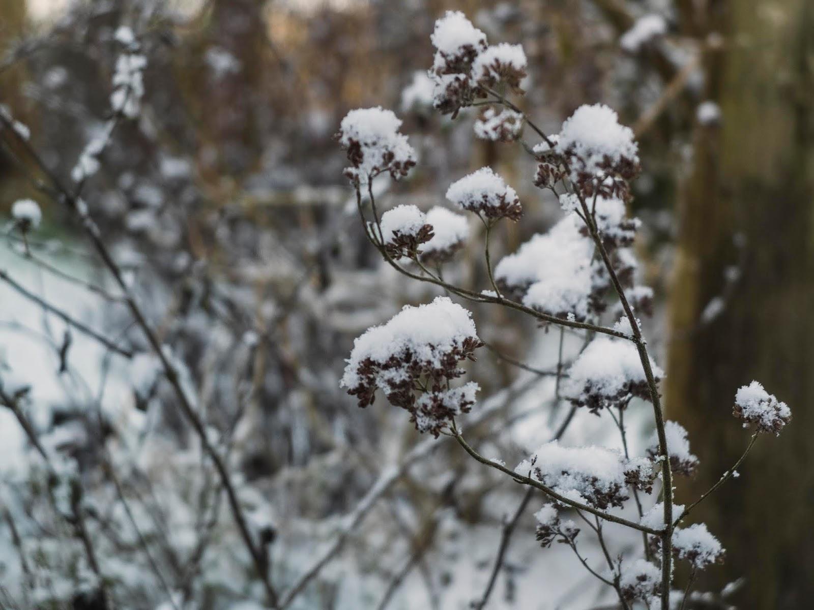Snow capped Marjoram flower heads in the garden.