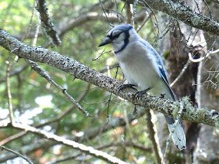 Geai bleu - Cyanocitta cristata