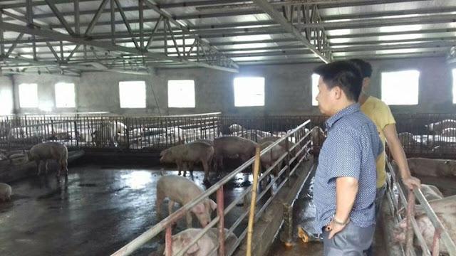 Ông Đào Ngọc Điệp, thôn 3, xã Bồ Đề (Bình Lục, Hà Nam) hiện đang nuôi 300 con heo thịt cho biết giá heo phải đạt từ 38.000 đồng/kg thì người chăn nuôi mới hòa vốn.