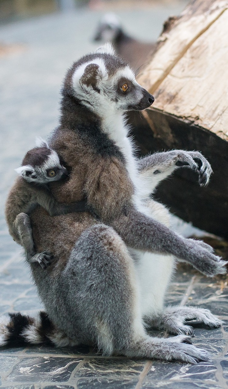 A lemur baby holding on to mother.