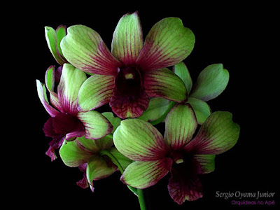 Orquídea Denphal híbrida