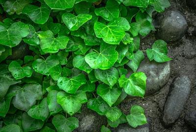 cara menghilangkan selulit secara tradisional dengan daun ivy