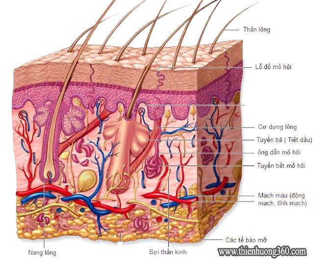 Nguyên nhân gây mụn trứng cá: Cấu tạo da