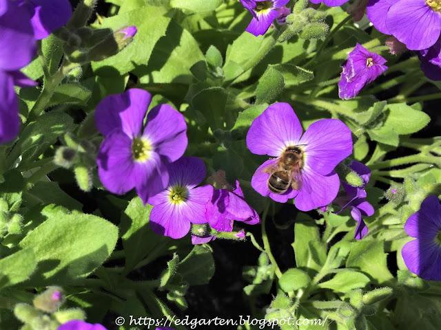 Biene auf violetter Blüte