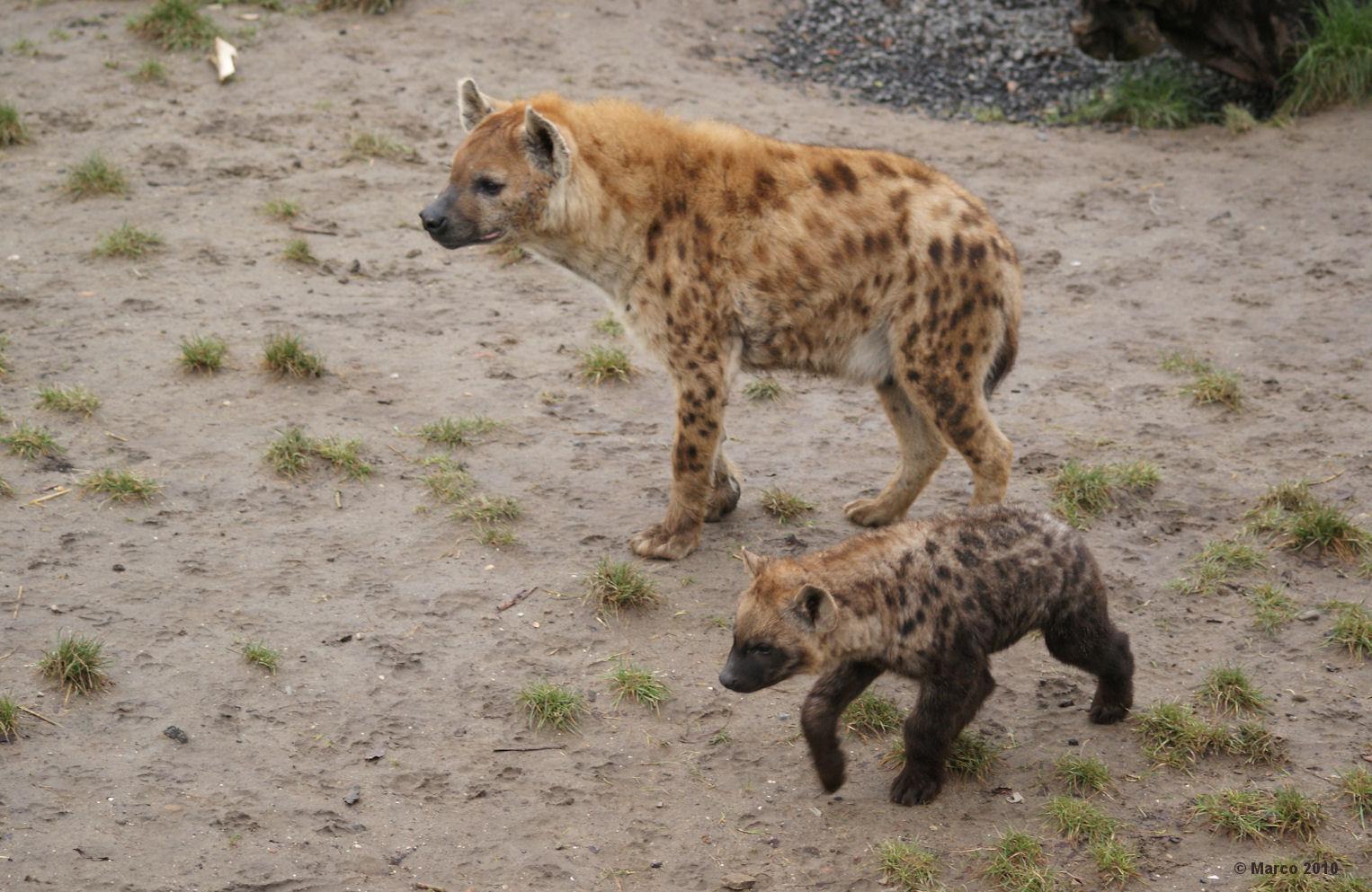 Hyena And Clitoris - Nude Gallery-7234