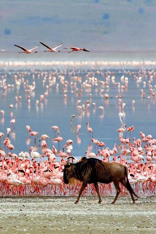 Ngorongoro Flamingoes