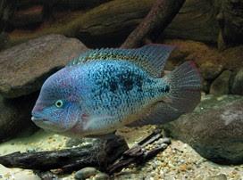 Bifa Vieja guttulatus ikan hias air tawar