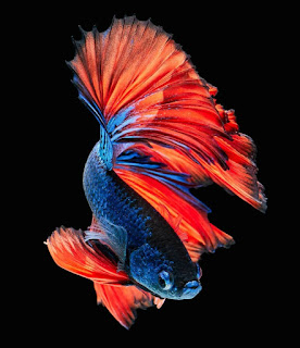 betta fish live wallpaper hd