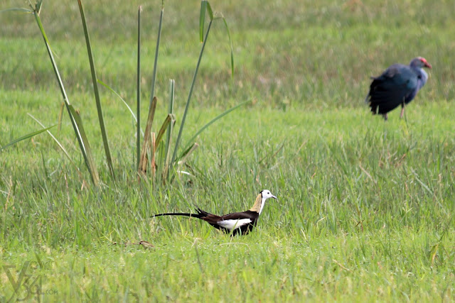 Adult male Pheasant-tailed Jacana along with Purple Swamphen