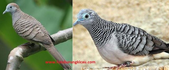 Cara Merawat Burung Perkutut Lokal dan Bangkok Suara Gacor Ciri Tanda Perbedaan