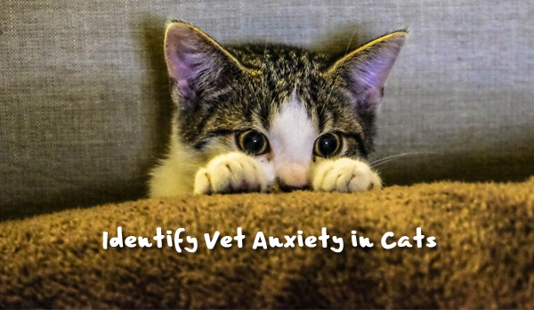 vet anxiety - cats