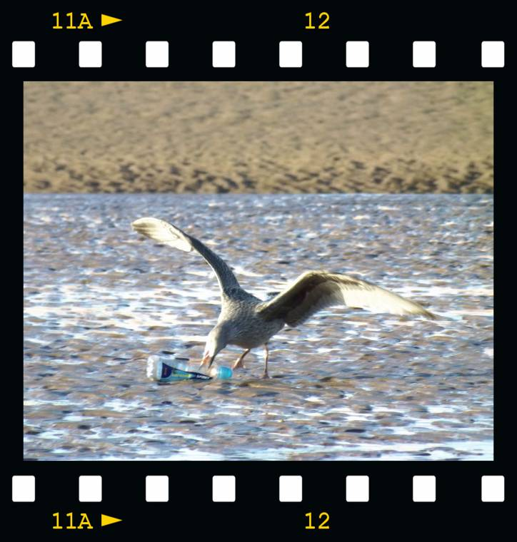Recycling On Blackpool Beach: By The Seagulls!!
