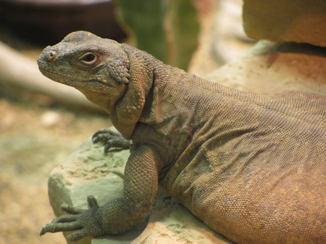 reptile at Brookfield Zoo