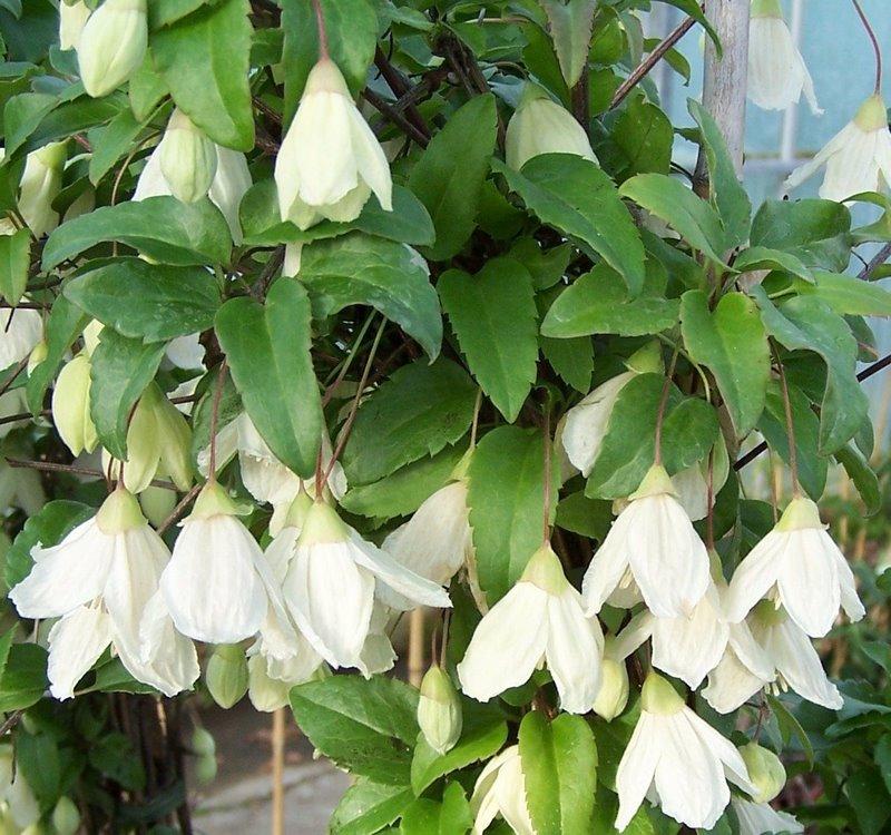 flores de clematis en forma de campana de color blanco cremoso que florecen en invierno
