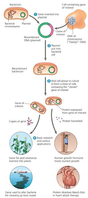gen adalah, non-coding DNA, Kloning DNA, Kloning DNA adalah, DNA kromosom dan DNA plasmid bakteri, jenis DNA bakteri, DNA plasmid, pengertian DNA plasmid, plasmid rekombinan, plasmid rekombinan adalah, pengertian plasmid rekombinan, bakteri rekombinan, bakteri rekombinan adalah, pengertian bakteri rekombinan, Kloning gen pada bakteri, manfaat kloning, Enzim Restriksi dan DNA Ligase, Enzim restriksi adalah, pengertian Enzim, restriksi, Enzim restriksi pada bakteri, DNA ligase adalah, pengertian DNA ligase