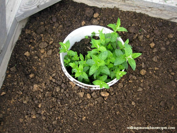 Plant the container in your garden to keep the mint from taking over your garden from Walking on Sunshine Recipes.