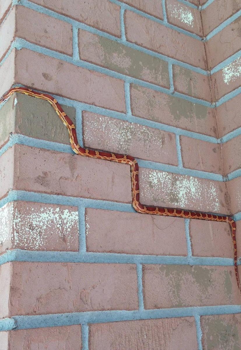 A rat snake clmbing a wall.