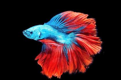 Daftar Ikan Hias Air Tawar yang Tahan Lama