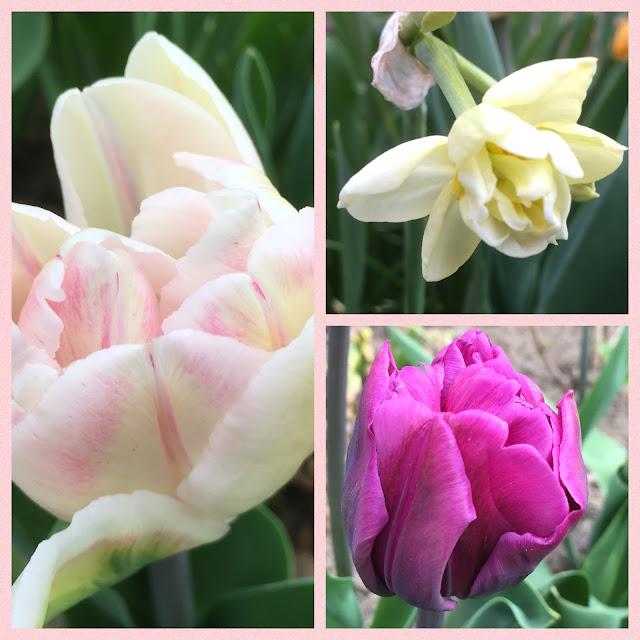 Blühende Tulpen und Narzissen