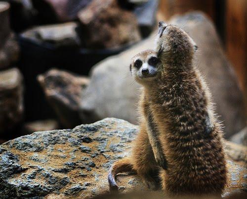 animal hugging animals cute adorable hug hugs creatures source meerkats