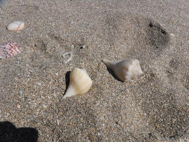 Lightning Whelk Seashells and Beach Treasures